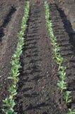 Gemüsezucht auf Hochbeet Stockbild