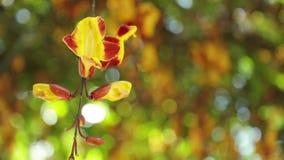 Gem för längd i fot räknat för definition för mysorensis för Mysore trumpetvinethunbergia högt stock video