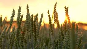 gem 4K av vete- eller kornfältet som blåser i vinden på solnedgången eller soluppgång stock video