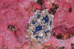 Gem nudibranch op roze rots Stock Afbeeldingen