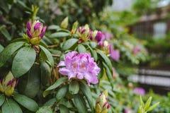 Gem Rhododenron pourpre par le zoo photographie stock