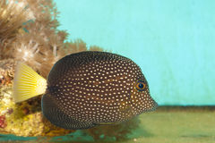Gem or Spotted Tang fish Royalty Free Stock Photos