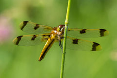 Gemalte Abstreicheisen-Libelle Stockbilder