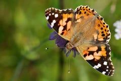 Gemalte Dame Butterfly Lizenzfreie Stockfotos