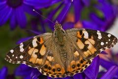 Gemalte Dame Butterfly Lizenzfreie Stockfotografie