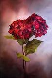 Gemalte rote Hortensien Stockbild