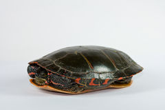 Gemalte Schildkröte. Stockfotos