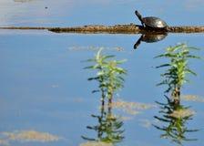 Gemalte Schildkröte Stockfoto