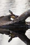 Gemalte Schildkröte Stockbild