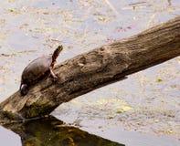 Gemalte Schildkröte Lizenzfreie Stockbilder