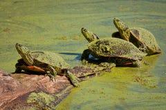 Gemalte Schildkröten abgedeckt in der grünen Entengrütze Stockfoto
