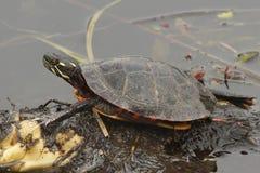 Gemalte Schildkröte (Chrysemys picta) Stockfotografie