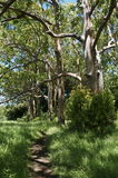 Gemalter Barken-Eukalyptus Stockfoto