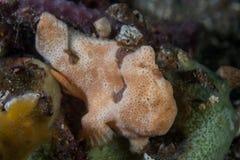 Gemalter Frogfish lizenzfreie stockfotos