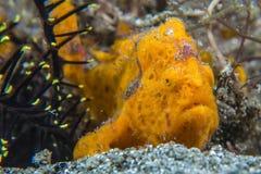 Gemalter Frogfish lizenzfreie stockfotografie