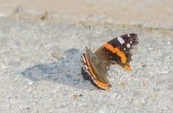 Gemalter Schmetterling - Vanessa-atalanta Nahaufnahmeansicht über das gorund Lizenzfreie Stockfotografie