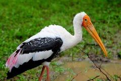 Gemalter Storch - Sri Lanka Stockfotografie