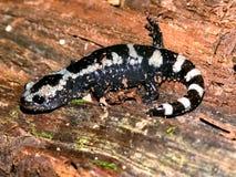 Gemarmorte Salamander-Illinois-wild lebende Tiere Stockfotos