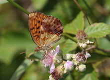Gemarmorter Fritillary - Brenthis-daphne Stockfoto