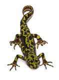 Gemarmorter Newt - Triturus marmoratus Lizenzfreies Stockfoto