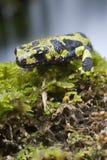 Gemarmorter Newt, Triturus marmoratus im Wasser, amphibisch lizenzfreie stockfotografie