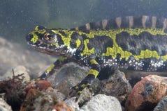 Gemarmorter Newt, Triturus marmoratus im Wasser, amphibisch lizenzfreies stockfoto