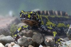 Gemarmorter Newt, Triturus marmoratus im Wasser, Kamm, stockbilder