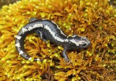 Gemarmorter Salamander Lizenzfreie Stockfotografie