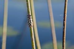 Gemarmortes Muster von gemaltem Reed Frog Back Stockfotografie