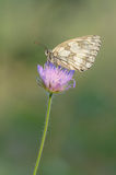 Gemarmortes Weiß (Melanargia galathea) stockbilder