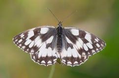 Gemarmortes Weiß (Melanargia galathea) lizenzfreies stockbild