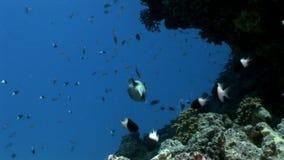 Gemaskeerde diadematus Tetraodontidae van Arothron van kogelvisvissen onderwater van Shaab Sharm stock footage