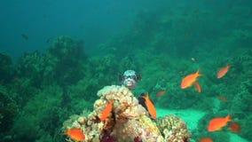 Gemaskeerde diadematus van kogelvisarothron houdt van is shooted onderwater stock video