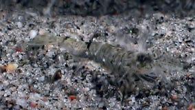 Gemaskeerde glasgarnalen en huiden in stenen onderwaterzeebedding van Witte Overzees stock footage