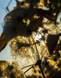 Gemaskeerde paardebloem stock foto's