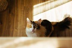 Gember drie kleurenkat is klaar om op lijst te springen Warm stemmend beeld Het concept van het levensstijlhuisdier Stock Foto's