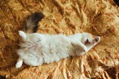 Gember drie kleurenkat ligt bij bed en het wassen Warm stemmend beeld Het concept van het levensstijlhuisdier Stock Foto's