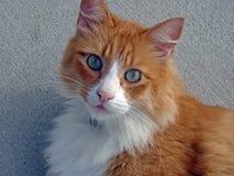 Gember en witte kat Stock Fotografie