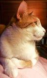Gember en witte kat Royalty-vrije Stock Fotografie