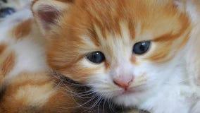 Gember en witte katjes stock video