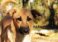 Gember verdwaalde hond met een zwarte neus en neerhangende oren stock foto
