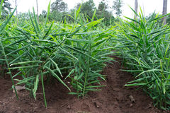 Gemberaanplanting stock foto's