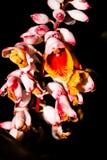 Gemberbloem in bloei Royalty-vrije Stock Foto's