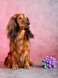 Gemberhond & met de hand gemaakte lilac bloem Stock Fotografie