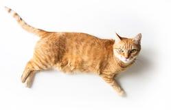 Gemberkat die op een witte lijst liggen Leuke kat met groene ogen Bij de dierenarts Hoogste mening stock foto