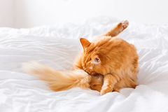 Gemberkat likken, die op het bed liggen Leuke comfortabele achtergrond Royalty-vrije Stock Foto's