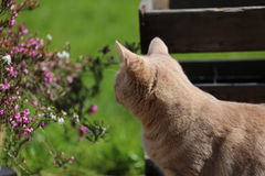 Gemberkat playin in tuin Stock Foto