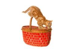 Gemberkatje op een mand Stock Fotografie