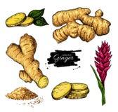 Gemberreeks Vectorhand getrokken wortel, gesneden stukken, poeder en FL royalty-vrije illustratie