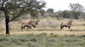 Gembsok或南非羚羊属 库存图片